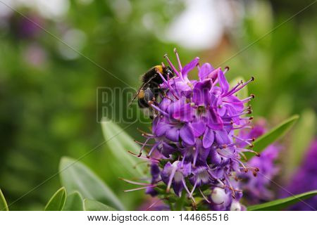 A White Tailed Bumblebee on purple flowers