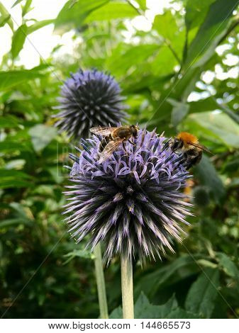 Honey bee and bumblebee on a blue thistle flower