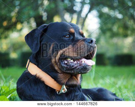 Portrait of a big thoroughbred dog - a Rottweiler. Background park green grass