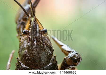 arthropods crustaceans cancer the view from the back claw closeup