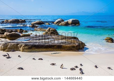 The concept of  ecotourism. Boulders Penguin Colony in the Table Mountain National Park. African black-and-white penguins. The sandy beach on the Atlantic coast of Africa