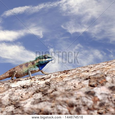 Chameleon on the trunk timber and blue sky background for concept of animal nature.
