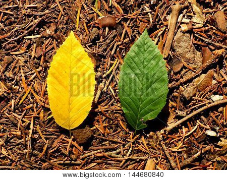 Yellow and green leaves comparison in deciduous forest during autumn