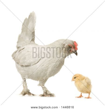 Hen And Her Chick