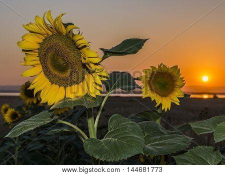 Bashkiria, Russia. Sunflower sunset on old fanatic.