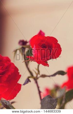 Red Rose, close up shot