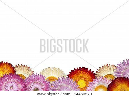 Row Of Colorful Strawflowers On White Background