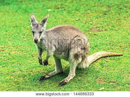 Young kangaroo on grass at zoo closeup