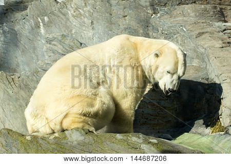 Large white polar bear at zoo outdoor