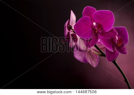 Magenta blossom orchid at right side of dark background. phalaenopsis flower.