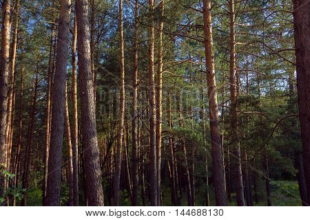 forest with tall pine at the sunlight