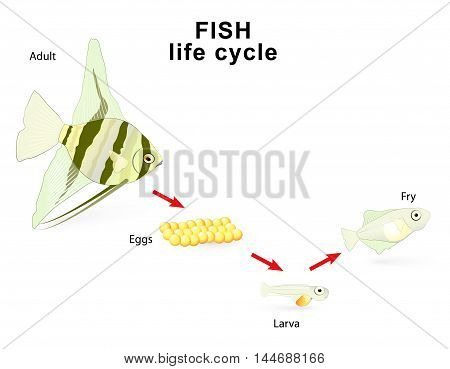 Fish life cycle for example Freshwater angelfish. Pterophyllum. Cichlidae