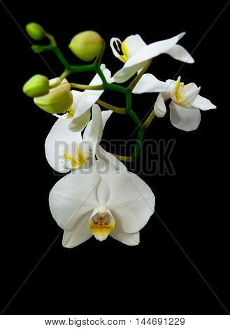 blossoming branch of white orchid isolated on a black background. vertical photo.