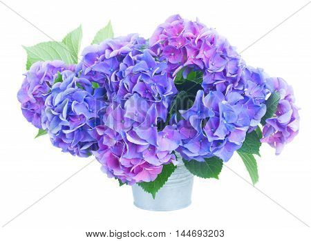 blue and violet hortensia flowers in metal pot isolated on white background