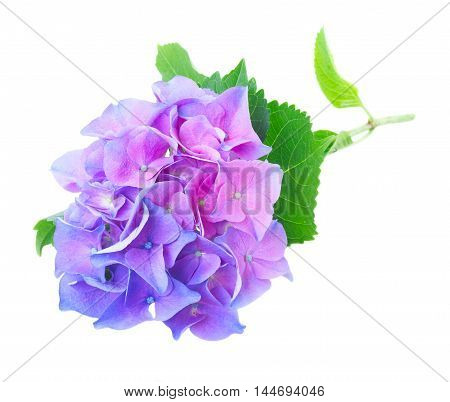 twig of blue and violet hortensia fresh flowers and leaves isolated on white background