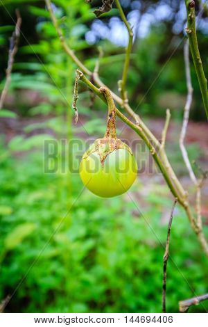 ripe eggplant tree in vegetable garden Thailand.