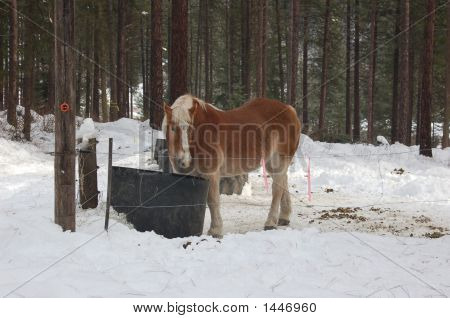 Big Clydesdale Horse