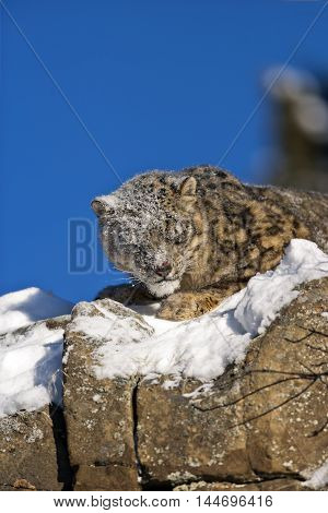 Snow Leopard Is Looking For Prey On Snowy Rock.