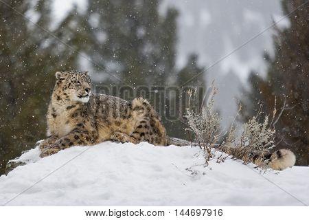 Portrait Of A Snow Leopard.