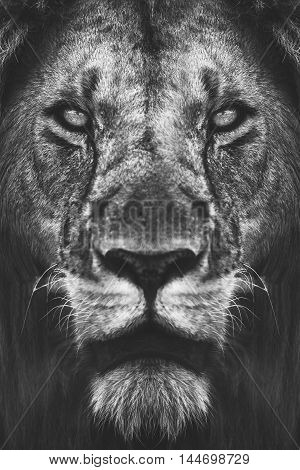 Close Up Portrait Of A Male African Lion In Black White.
