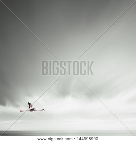 Minmalistic Photo Of Flamingo While Flying With Moving Clouds.