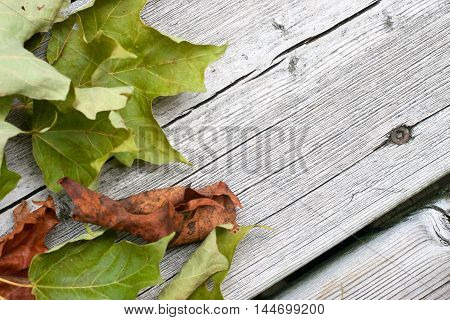 autumn season background of dried maple leaves on weathered wooden boards