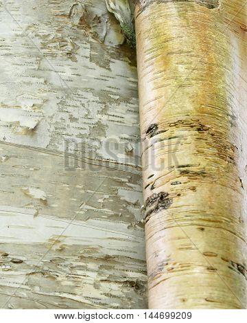 birch bark peeling like a scroll from white birch tree trunk closeup