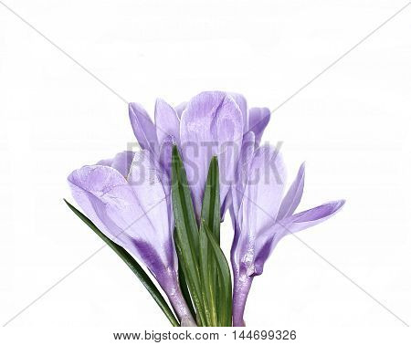 Violet flower of crocus isolated on white background