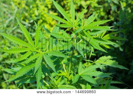 Cannabis Marijuana plant. Green leaves of hemp