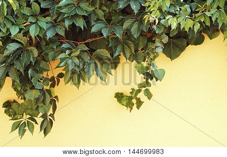Creeping grape vine and canadian ivy on a yellow wall