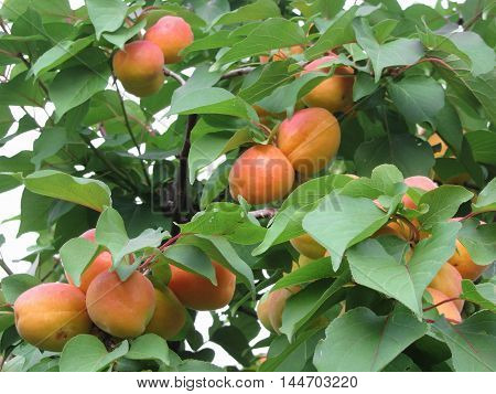 Ripe apricots hanging on the tree . Tuscany Italy