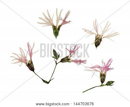 Pressed and dried flowers ragged robin or lychnis flos-cuculi. Isolated on white background. For use in scrapbooking floristry (oshibana) or herbarium.