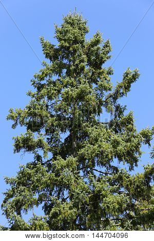 tall hemlock tree top towering above the ground against deep blue sky