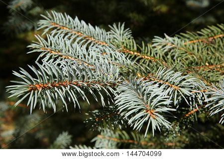 new blue needles growing on the end of a Colorado blue spruce tree macro full frame