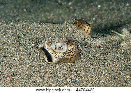 parsnip stingray fish on sand underwater portrait