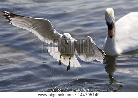 Beautiful photo of a gull flying away from a swan