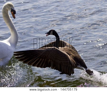 Amazing photo of the epic fight between a Canada goose and a swan on the lake