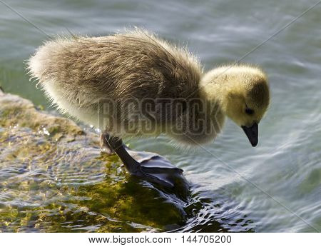 Cute chick of the Canada geese is looking into the water