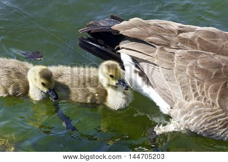 Cute chicks of the Canada geese are swimming after their mom