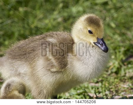 Photo of a chick of the Canada geese