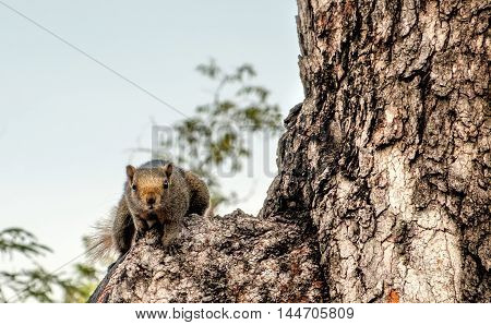 Squirrel brown fur funny pets looking at camera on background wild nature. Animal thematic. Squirrel sits on tree trunk.