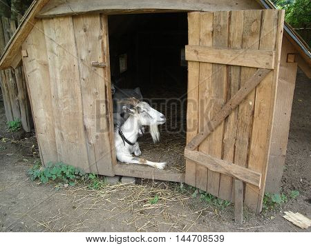 Goat is located in a wooden shed
