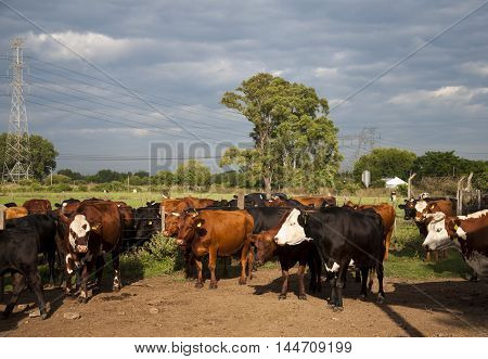 landscape bovine cattle breeding with sky and tree