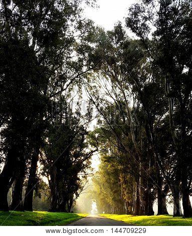 vanishing point on a path of eucalyptus