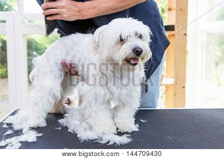 Standing white Maltese dog is groomed. The dog is standing on the grooming table and is looking ahead.