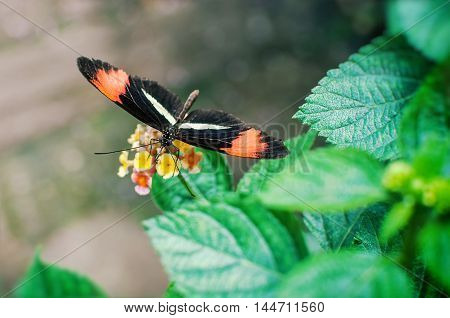 Beautiful photo of Postman butterfly Heliconius melpomene tomate