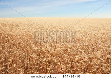 big field covered of cereals till skyline
