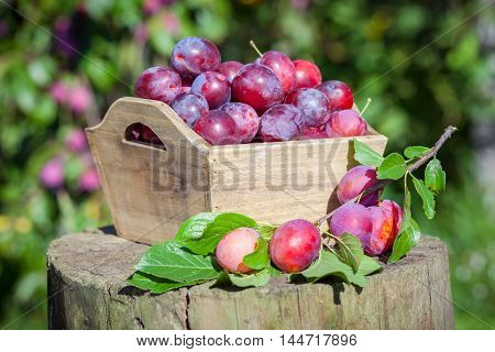 Fresh Plums In A Box Outdoors In Garden.