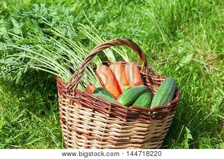 Wooden wicker basket with fresh carrots and cucumbers at the outdoors