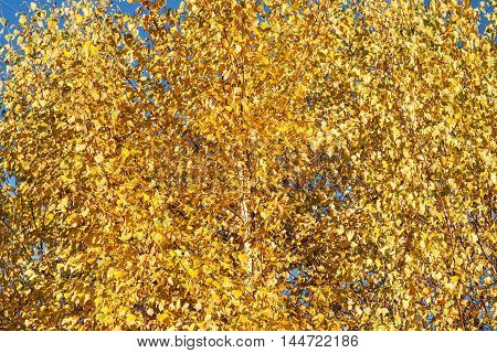 Yellow autumn leaves against blue sky abstract background